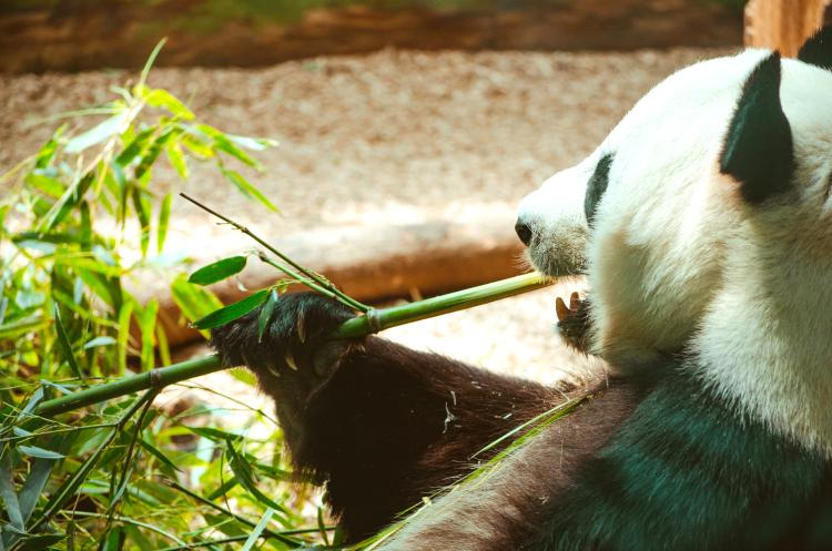 Co je panda wielka?