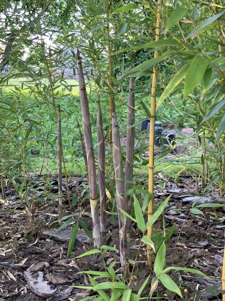 Jak szybko rośnie bambus?