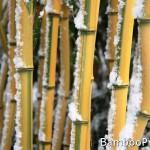 Jaki bambus wybrać – bambusy drzewiaste