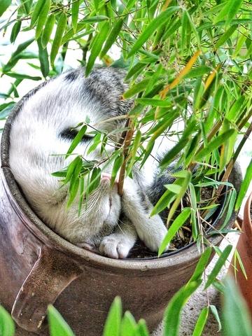 bambus w donicy