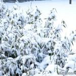 Bambusy przysypanane śniegiem