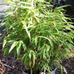 Bambusy w donicy –  łatwa w uprawie przenośna zieleń
