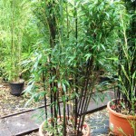 Bambusy w donicy – na tarasie, balkonie albo na łodzi;)