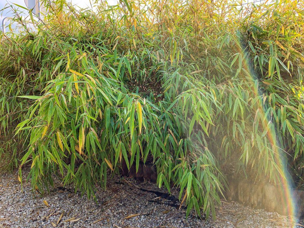 Bambus Fargezia - uprawa, stanowisko, podlewanie