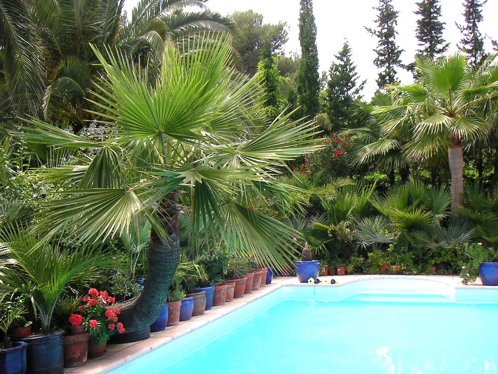 Palma waszyngtonia, czyli o dwóch amerykańskich pięknościach