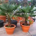 Najlepsza palma na taras – szorstkowiec, daktylowiec i waszyngtonia