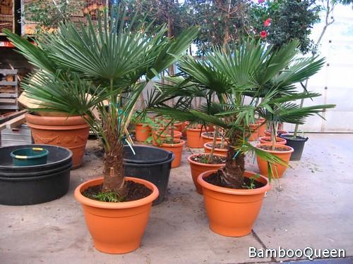 Pierzaste, palczaste, wachlarzowate – różne gatunki palm doniczkowych