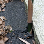 Bariera korzeniowa dla bambusów drzewiastych