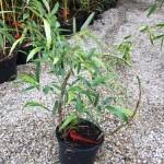 Jak rosną bambusy? Szybko:)