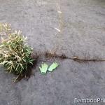 Bambus drzewiasty – jak rośnie pod ziemią?
