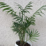 Palmy doniczkowe – najlepsze gatunki dla początkujących
