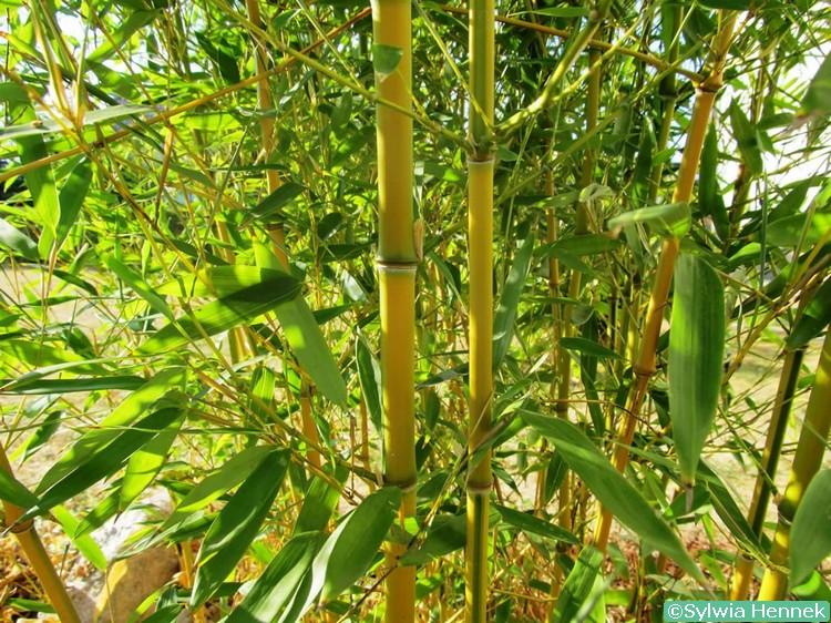 bambusy-w-polsce-polskie-nazwy-botaniczne