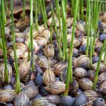 Jak wysiać nasiona palmy? Instrukcja krok po kroku