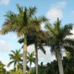 Roystonea regia – palma królewska, kubańska palma narodowa