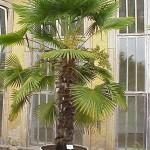 Szorstkowiec Fortunego (Trachycarpus fortunei) – palma mrozoodporna – pochodzenie i nazwa