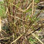 Uszkodzenia zimowe u bambusów