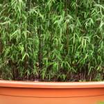 Żywopłot z bambusa kępowego (Fargesia)