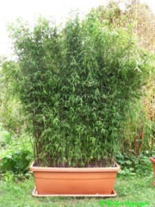 ywop ot z bambusa k powego fargesia bambusowy sen wszystko o bambusach ogrodowych i palmach. Black Bedroom Furniture Sets. Home Design Ideas