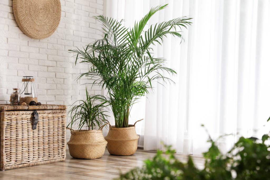Uprawa palmy w doniczce