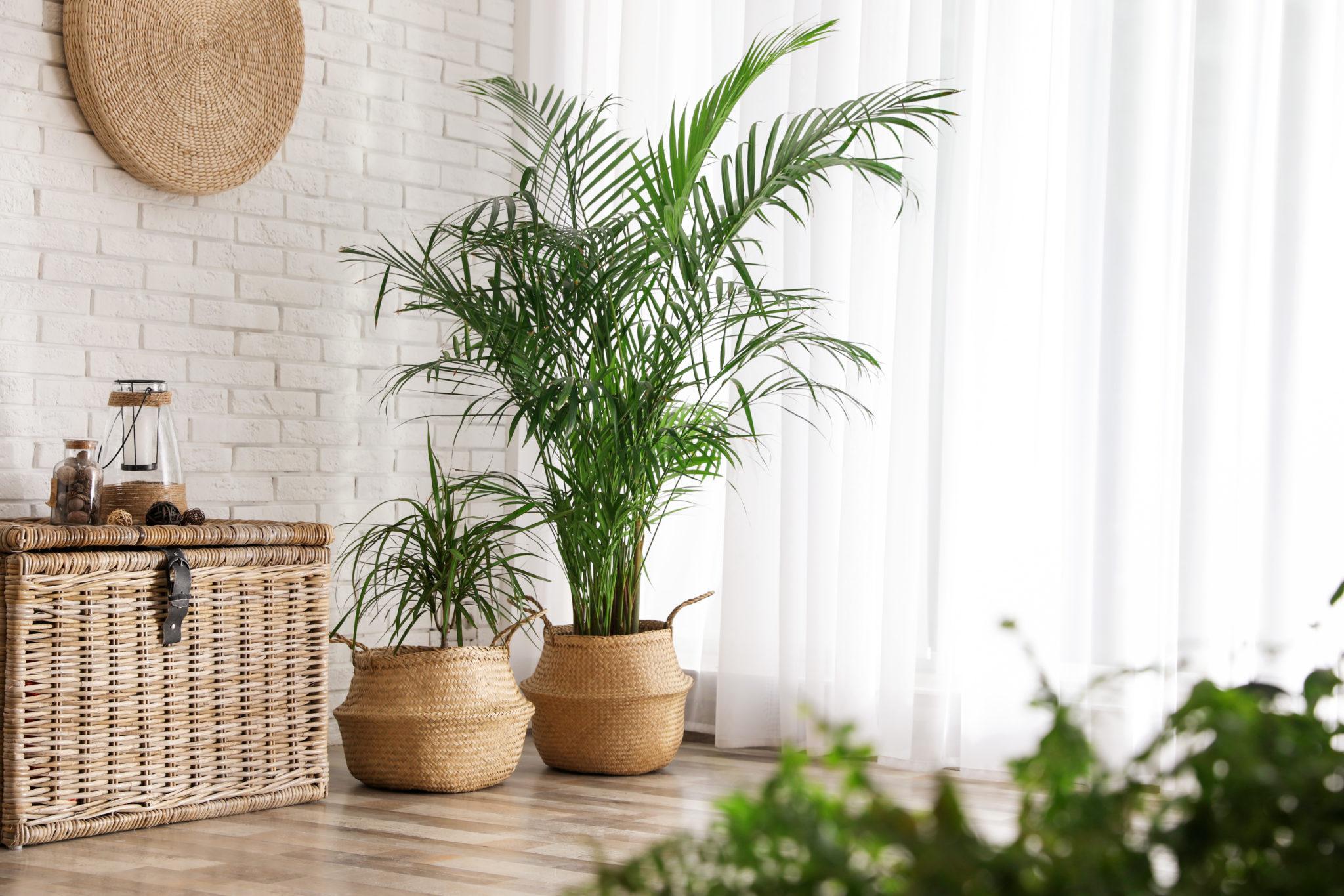 9 Zasad Jak Uprawiac Palmy Pokojowe Bambusowy Sen