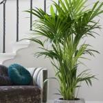 9 zasad jak uprawiać palmy pokojowe