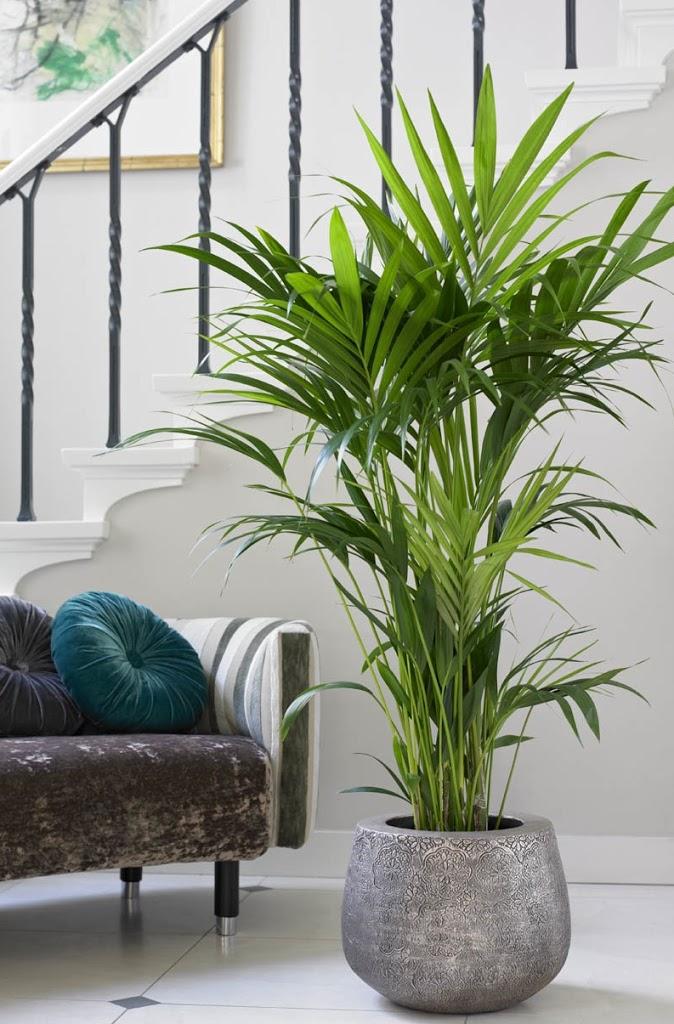 9 Zasad Jak Uprawiać Palmy Pokojowe Bambusowy Sen