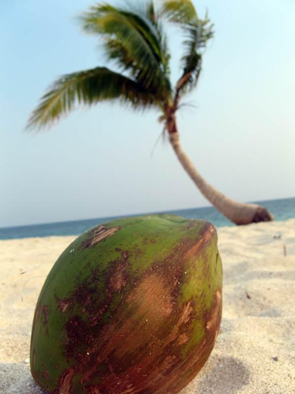 Duże kokosy