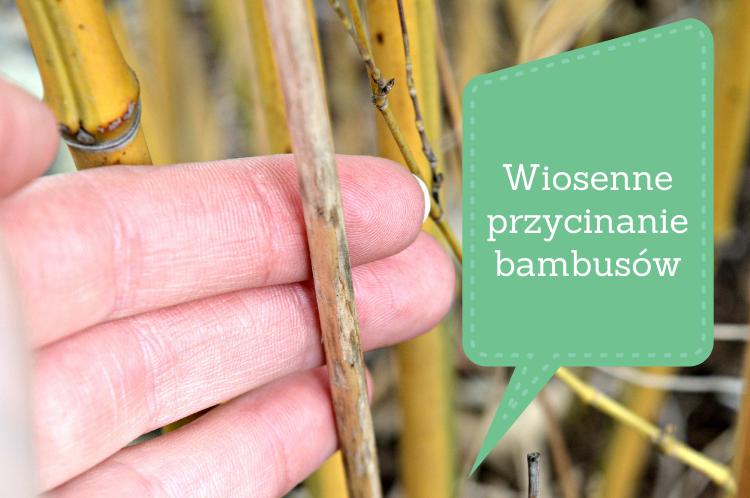 Wiosenne przycinanie bambusów