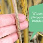 Wiosenna pielęgnacja bambusów