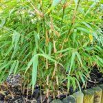 Bambus ogrodowy dla poczÄ…tkujÄ…cych