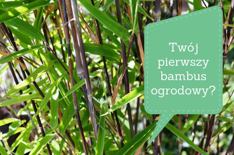 bambus-ogrodowy-dla-poczatkujacych