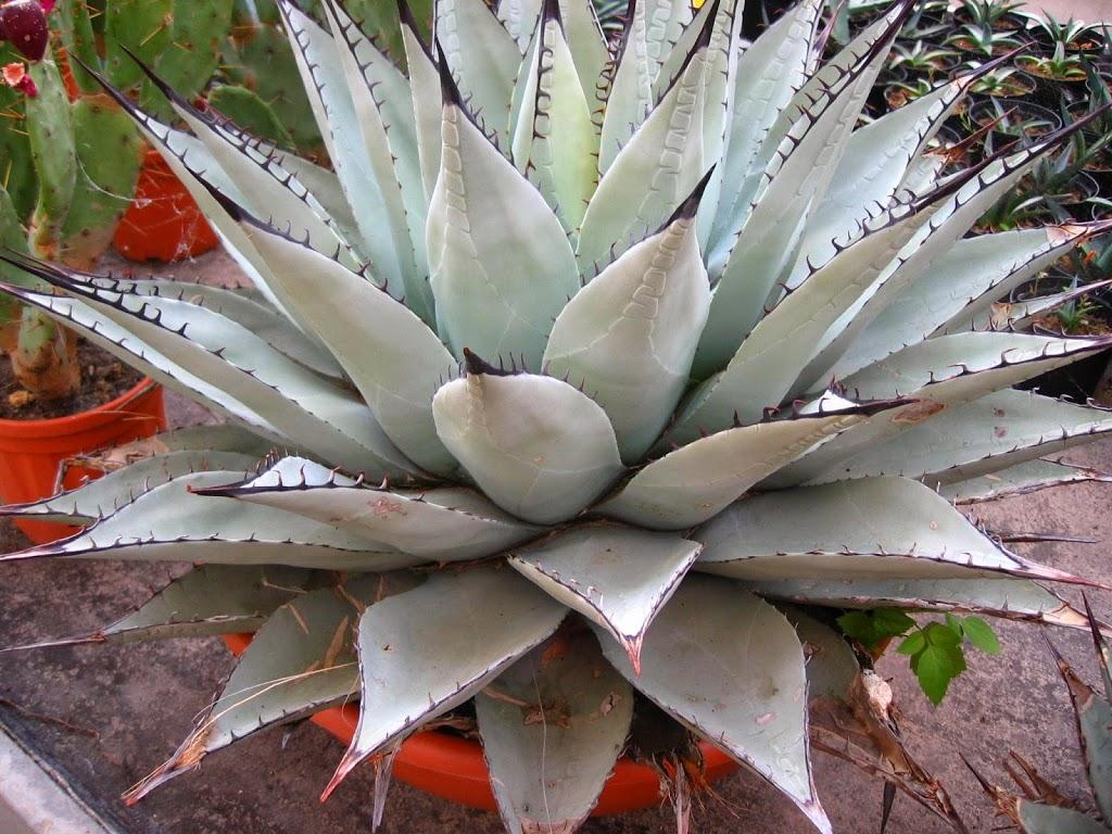 Agawy mrozoodporne – lista gatunków agaw