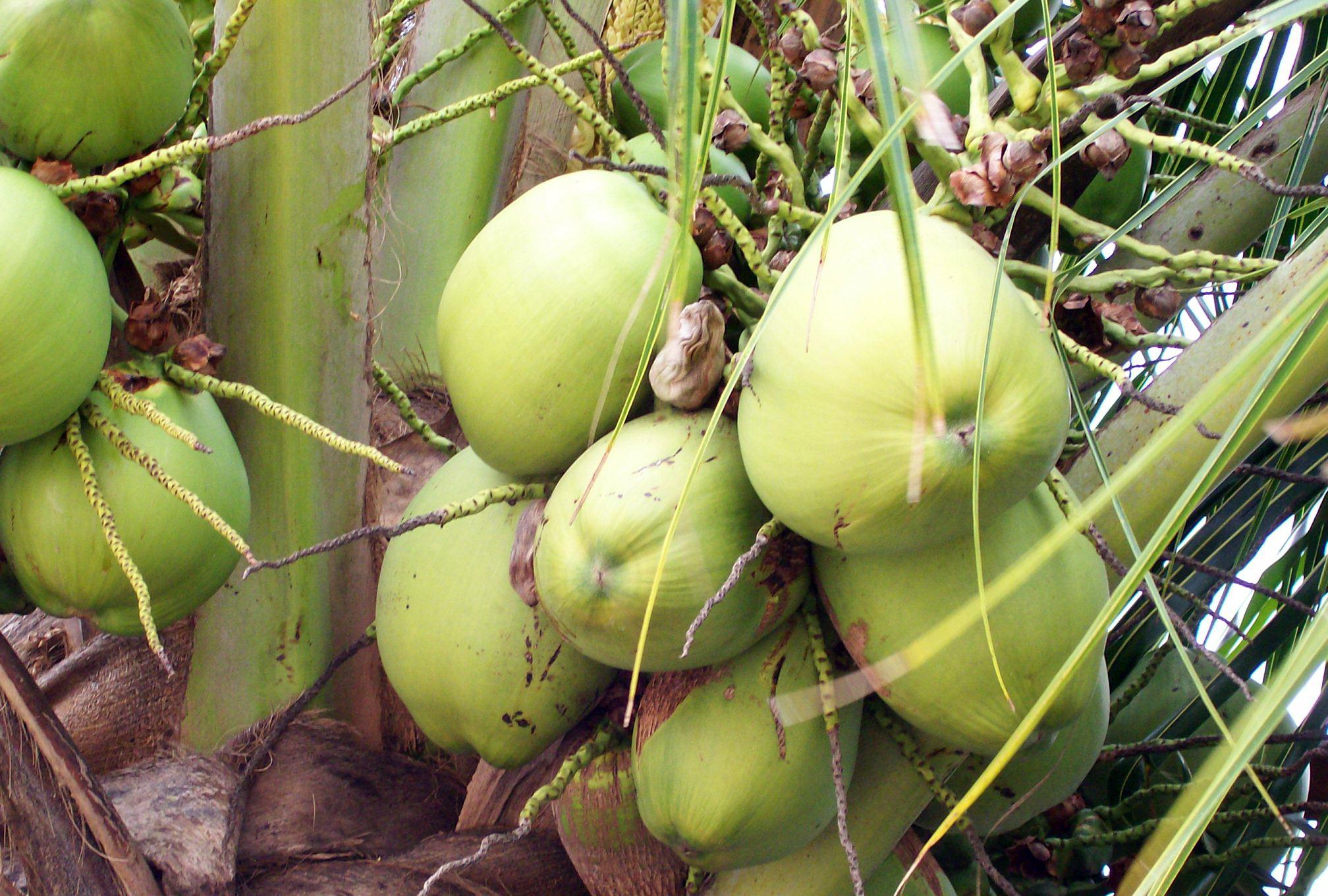 Orzech kokosowy w Europie – krótka historia