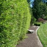 W jakiej odległości sadzić bambusy kępowe?