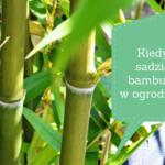 Kiedy sadzić bambusy w ogrodzie?