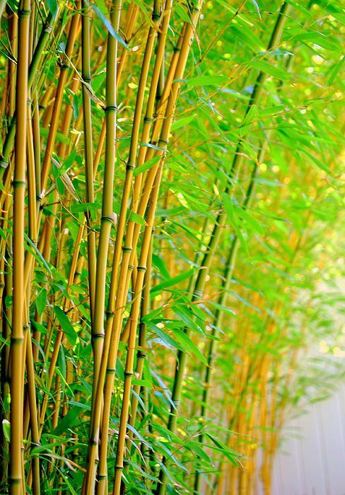 żywopłot z bambusów drzewiastych