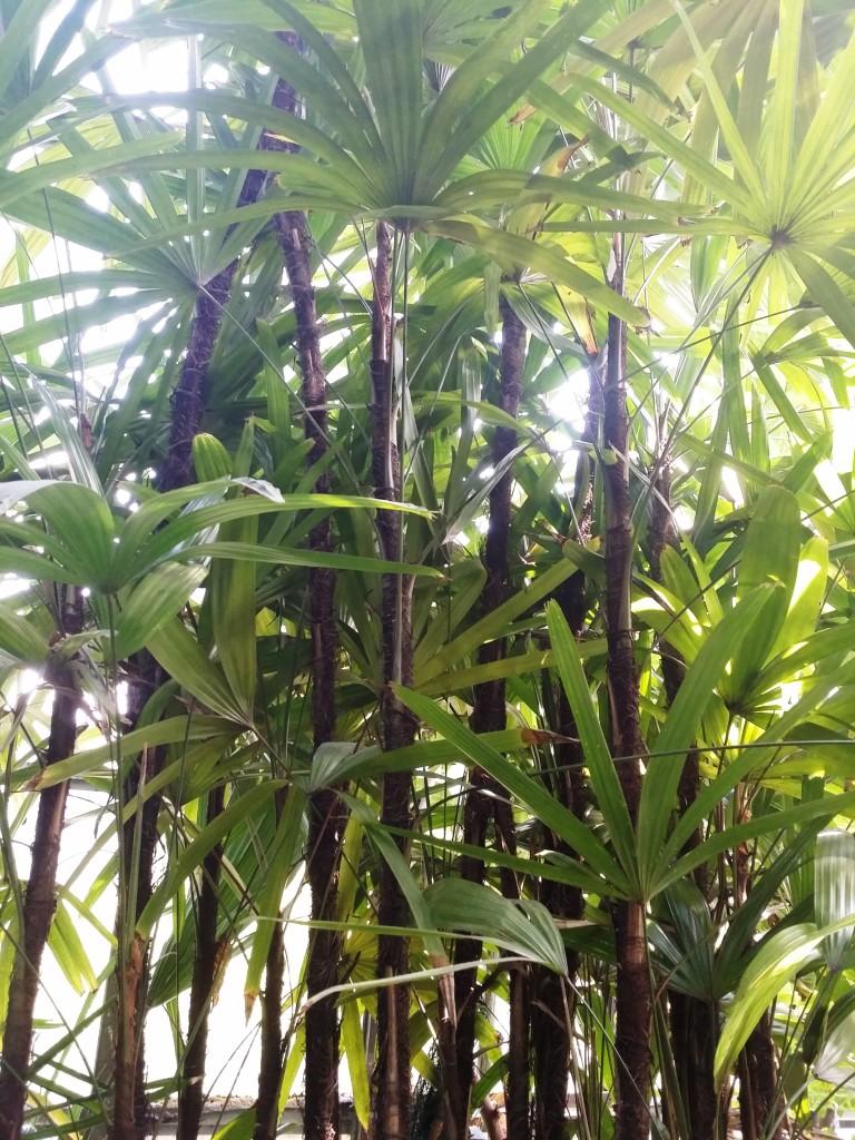 Rapis wyniosły (Rhapis excelsa) - w palmiarni tworzy mały lasek