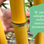 W jakiej odległości sadzić bambusy drzewiaste?