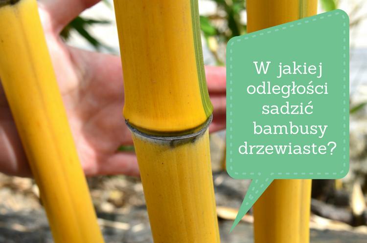 w-jakiej-odleglosci-sadzic-bambusy-drzewiaste