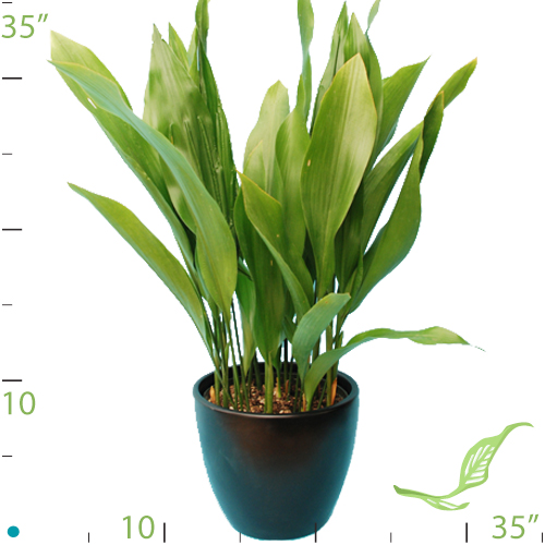 aspidistra rośliny do biura