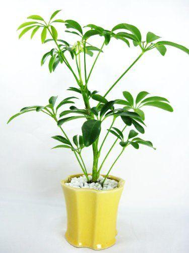Chłodny Top 10 - najlepsze rośliny do biura SH26
