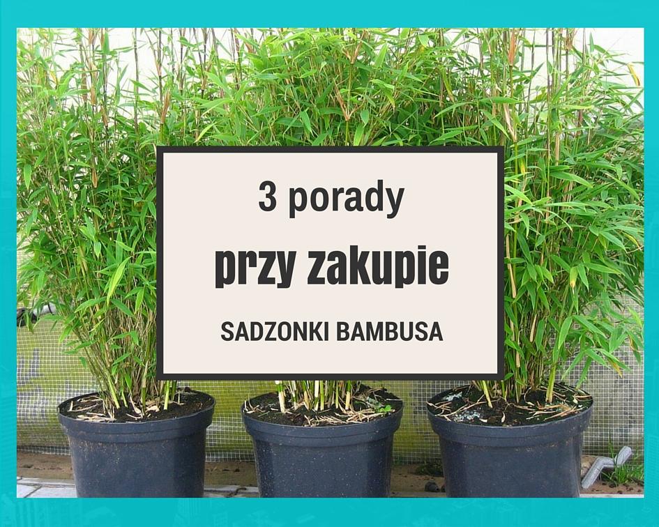 3 porady przy zakupie sadzonki bambusa