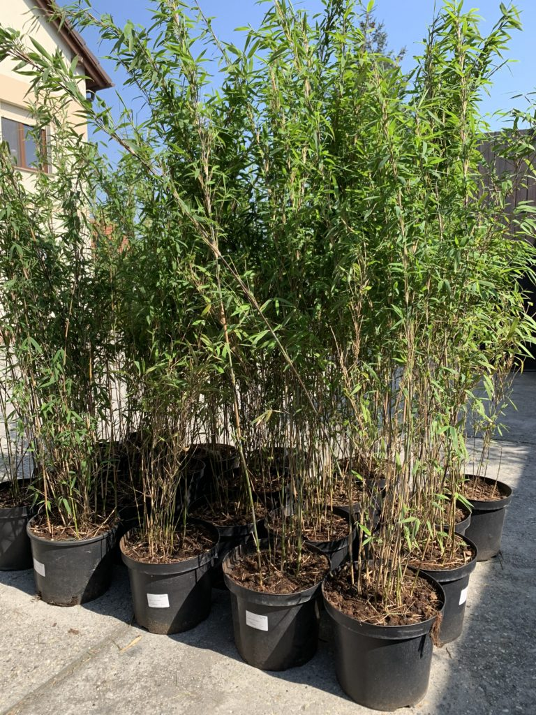 sadzonka bambusa