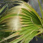 Recepty dla chorej palmy