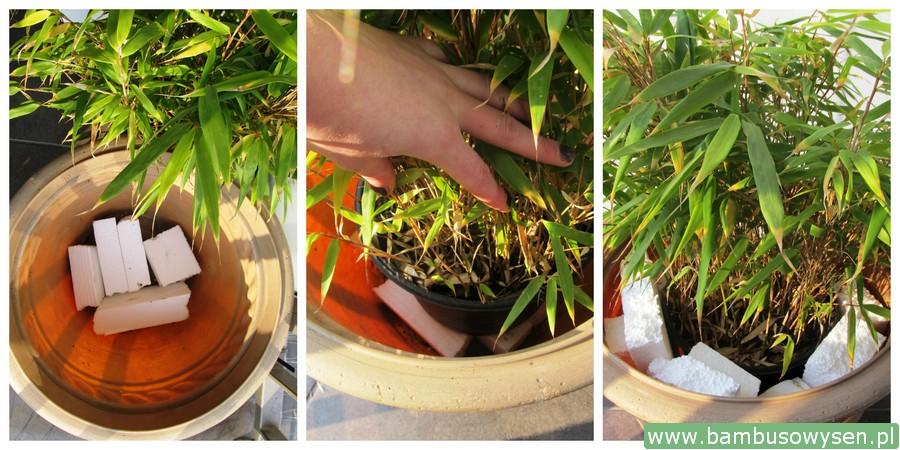 Jak przezimować bambus w donicy na balkonie?