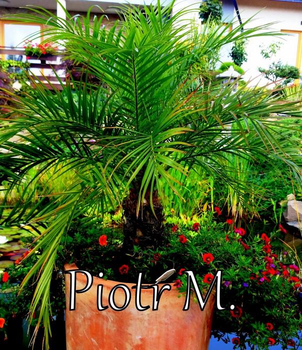 nawożenia-palm-zielone-liście-daktylowiec-niski_