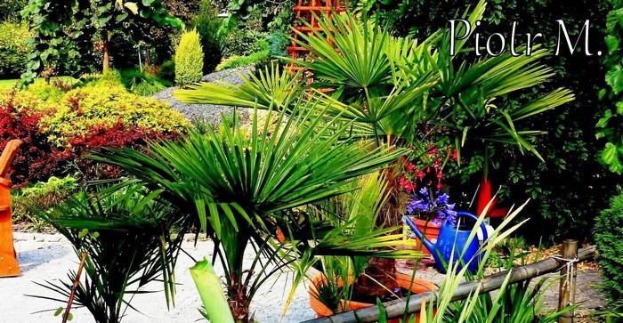 nawożenie palm