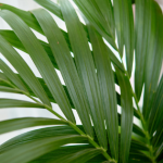 Ekstra sposób na zielone liście palmy – radzi Piotr Mac