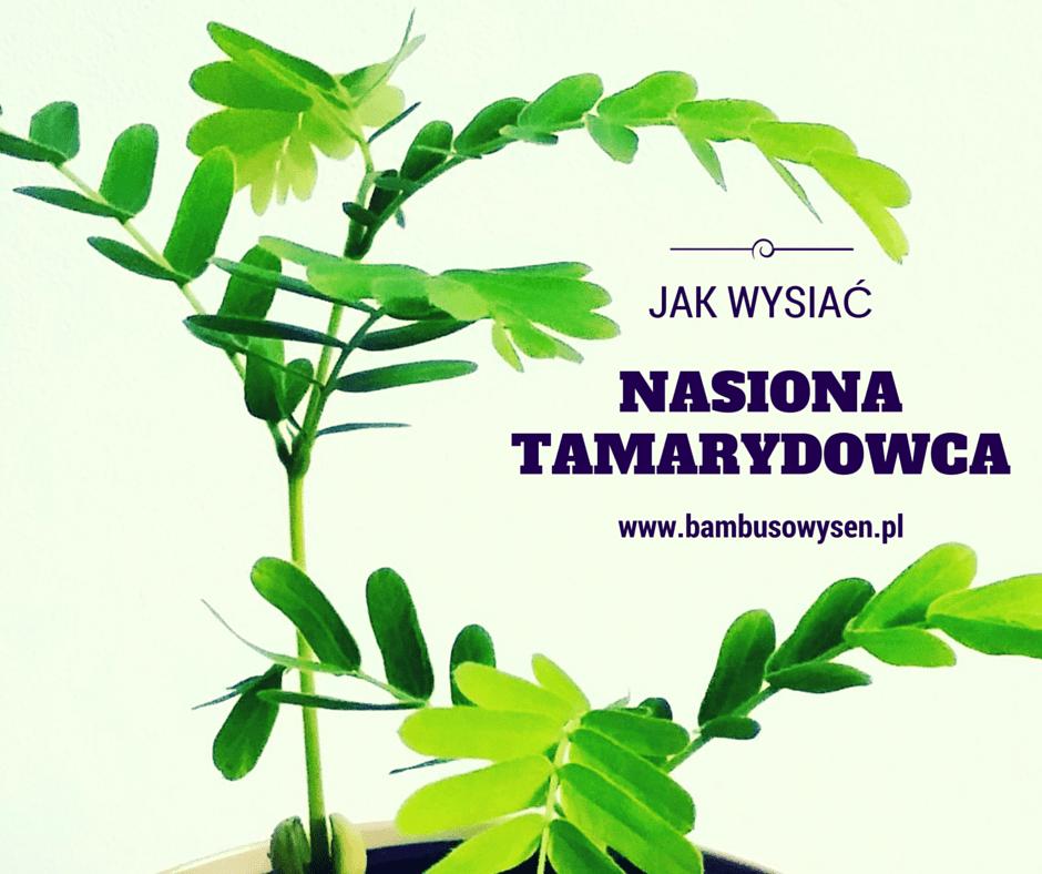 Jak wysiać nasiona tamaryndowca?
