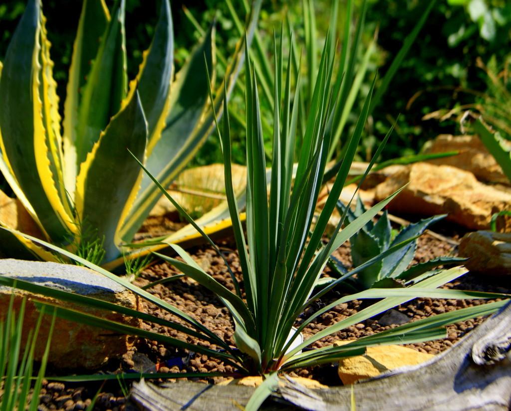 Juka rostrata (Yucca rostrata)